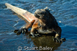 This marine iguana in the Galapagos Islands is not camera... by Stuart Bailey 